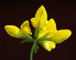 Gewoehnlicher Hornklee Kraut Bluete gelb Lotus corniculatus 03
