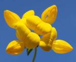 Bild:  Gewöhnlicher Hornklee Kraut Blüte gelb Lotus corniculatus