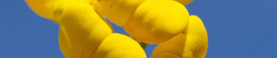 gewoehnlicher-hornklee-kraut-bluete-gelb-lotus-corniculatus