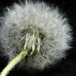 Gewoehnlicher Loewenzahn Samen braun weiss Taraxacum 09