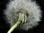 Gewoehnlicher Loewenzahn Samen braun weiss Taraxacum 10