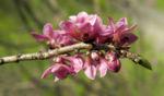 Gewoehnlicher Seidelbast Bluete pink Daphne mezereum 05