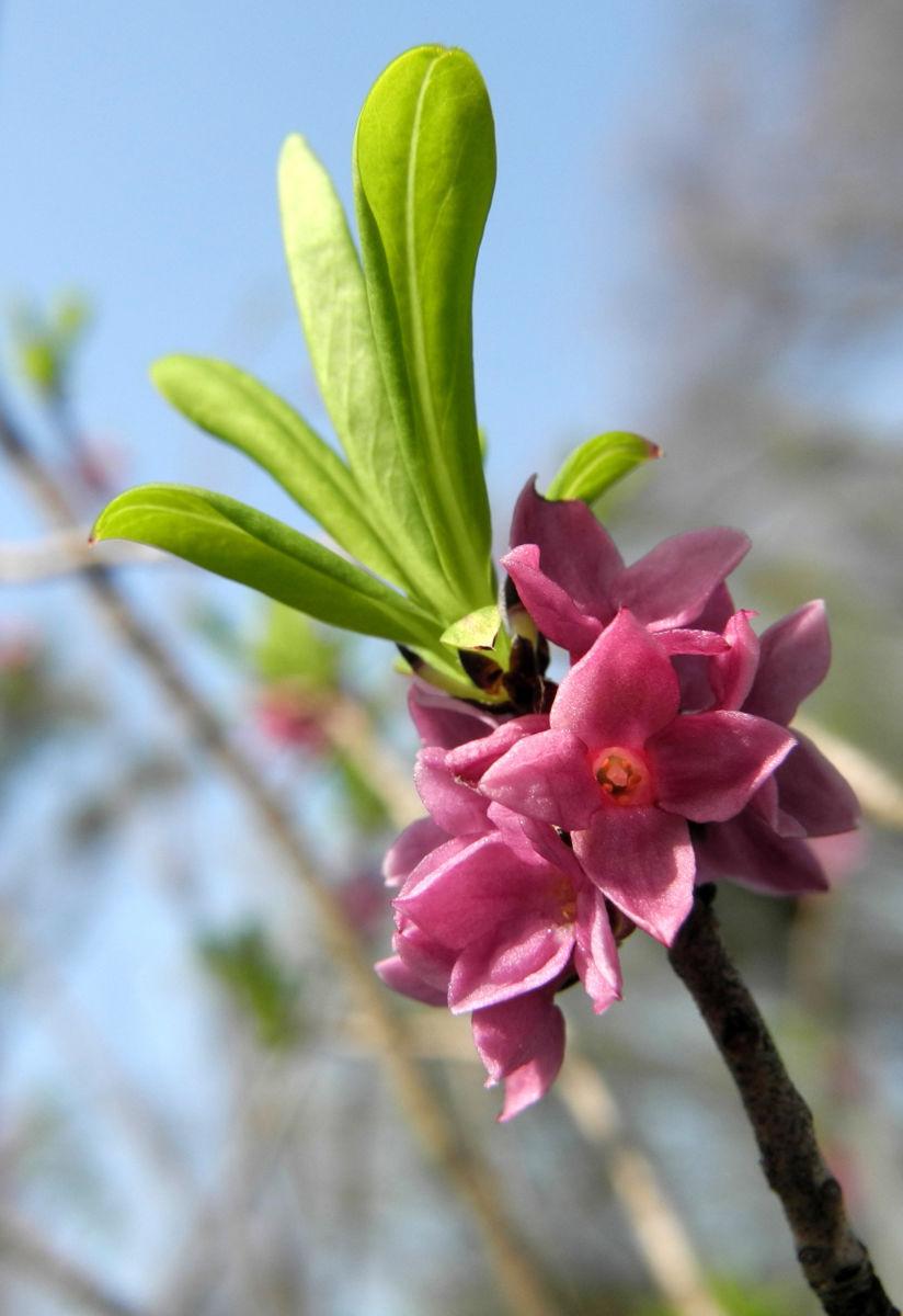 Gewoehnlicher Seidelbast Bluete pink Daphne mezereum
