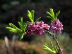 Bild:  Echter Seidelbast Blüte pink Daphne mezereum
