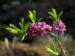 Zurück zum kompletten Bilderset Echter Seidelbast Blüte pink Daphne mezereum