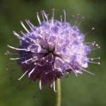 Gewoehnlicher Teufelsabiss Kraut Bluete violett Succisa pratensis 02