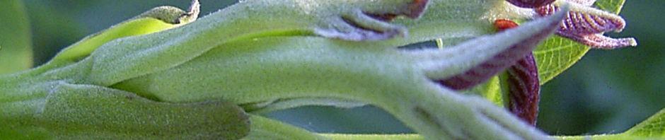 gewoehnlicher-walnussbaum-frucht-gruen-juglans-regia