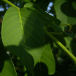 Gewoehnlicher Walnussbaum Juglans regia 05
