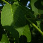 Gewoehnlicher Walnussbaum Juglans regia 05 1