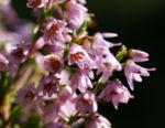 Gewoehnliches Heidekraut Bluete pink Calluna vulgaris 01