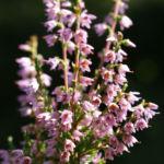 Gewoehnliches Heidekraut Bluete pink Calluna vulgaris 03