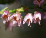 Gewoehnliches Heidekraut Bluete pink Calluna vulgaris 04