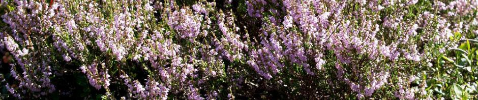 besenheide-gewoehnliches-heidekraut-bluete-pink-calluna-vulgaris