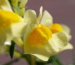 Gewoehnliches Leinkraut Kraut Bluete gelb orange Linaria vulgaris 01