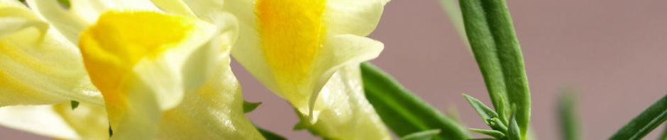 gewoehnliches-leinkraut-kraut-bluete-gelb-orange-linaria-vulgaris