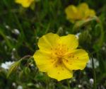 Gewoehnliches Sonnenroeschen Bluete gelb Helianthemum nummularium 01