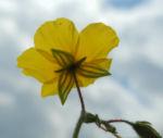 Gewoehnliches Sonnenroeschen Bluete gelb Helianthemum nummularium 08