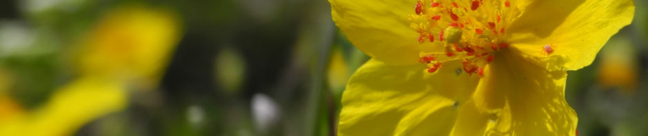 gewoehnliches-sonnenroeschen-bluete-gelb-helianthemum-nummularium