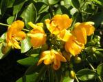 Gewuerzrinde Strauch Bluete gelb Senna corymbosa 01