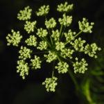 Giersch Bluete weiß Aegopodium podagraria0 0