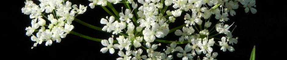 giersch-kraut-blatt-gruen-bluete-weiss-aegopodium-podagraria