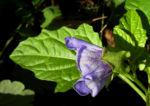 Giftbeere Bluete blau Nicandra physalodes 10