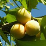 Ginkgo Baum Frucht hell gelb gruen Ginkgo biloba 01