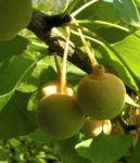 Ginkgo Baum Frucht hell gelb gruen Ginkgo biloba 09