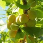 Ginkgo Baum Frucht hell gelb gruen Ginkgo biloba 11