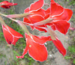 Gladiole Bluete rot Gladiolus spp 04