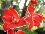 Gladiole Bluete rot Gladiolus spp 05