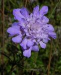 Glanz Skabiose Bluete lila Scabiosa lucida 02