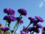 Bild:  Glattblatt-Aster Blüte lila gefüllt Aster novae belgii