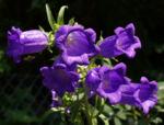 Glockenblume Brantwood Bluete tiefviolett Campanula latifolia 06