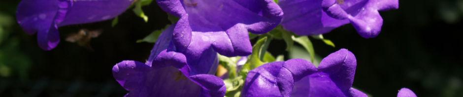 breitblaettrige-glockenblume-bluete-dunkelviolett-campanula-latifolia