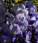 Glyzinie Blauregen Bluete weiss blau Wisteria sinensis 09