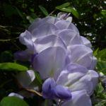 Glyzinie Bluetendolde Wisteria sinensis 02