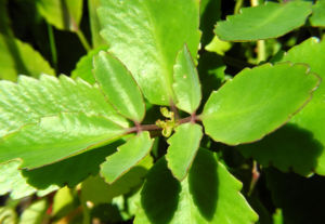 Goethe Pflanze Blatt gruen Kalanchoe pinnata 03