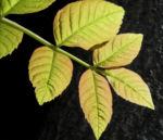 Goetterbaum Blatt gruen Ailanthus altissima 09