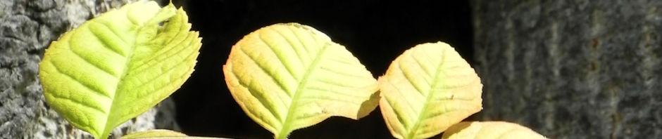 goetterbaum-blatt-gruen-rinde-grau-ailanthus-altissima