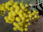 Gold Akazie Golden Wattle Bluete gelb Acacia pycnantha 02