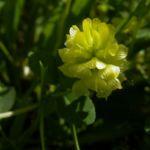 Gold Klee Trifolium aureum 03