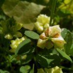 Gold Klee Trifolium aureum 04