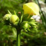Gold Taubnessel gelbe Bluete Lamium galeobdolon 04