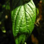 Goldaehre Blatt gruen Pachystachys lutea 05