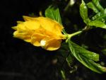 Goldaehre Bluete gelb Pachystachys lutea 02