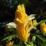 Goldaehre Bluete gelb Pachystachys lutea 06