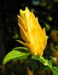 Goldaehre Bluete gelb Pachystachys lutea 08