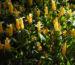 Zurück zum kompletten Bilderset Goldähre Blüte gelb Pachystachys lutea