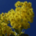 Golden Wattle Akazie Bluete gelb Acacia pycnantha 04